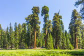 Tall and big sequoias trees in sequoia national park