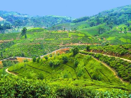 green tea plantation in Sri Lanka