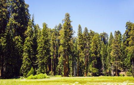Photo pour Grands et grands séquoias dans le magnifique parc national de séquoias - image libre de droit
