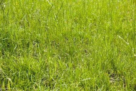 fresh green grass background with bright sun light
