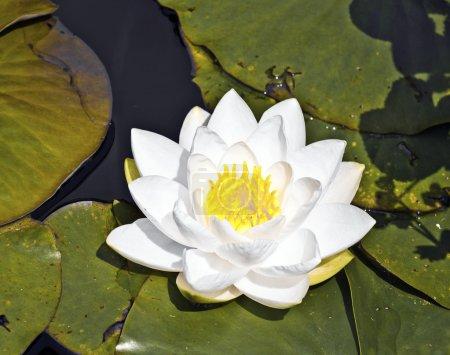 Photo pour Lotus blanc japonais nénuphar dans le lac - image libre de droit