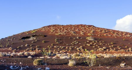 Photo for Vegetation in vulcanic area in Lanzarote, Timanfaya National Park - Royalty Free Image