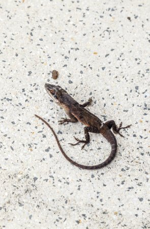 Common salamander crawling on the floor