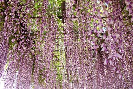 Photo pour Treillis de la glycine dans le jardin japonais - image libre de droit