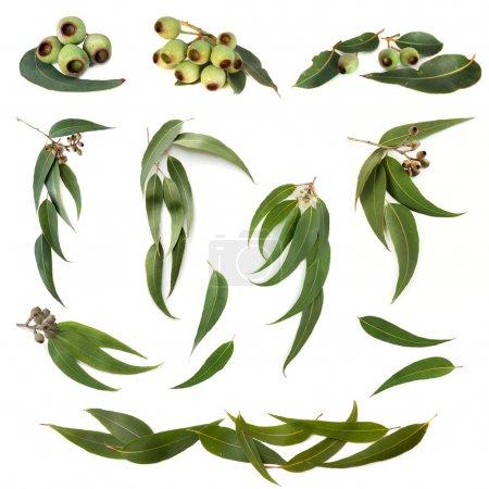 Photo pour Collection de feuilles d'eucalyptus et de gommes à mâcher, isolées sur blanc . - image libre de droit