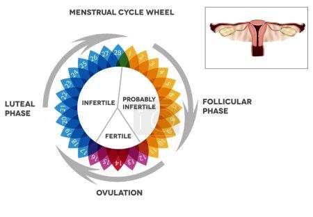 Menstrual cycle calendar.