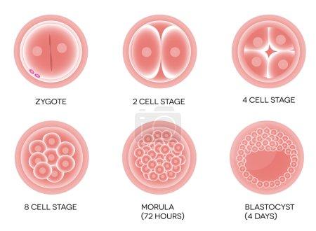 Illustration for Fertilized egg development. Isolated on a white background. - Royalty Free Image