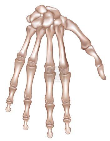 Illustration pour La main. Os de la main droite. Illustration médicale détaillée. Isolé sur fond blanc. Conception réaliste et précise . - image libre de droit