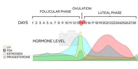 Illustration for Menstrual cycle hormone level. Avarage menstrual cycle. Follicular phase, Ovulation, luteal phase. - Royalty Free Image
