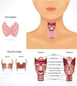 Thyroid gland, epiglottis, trachea. Detailed anatomy.