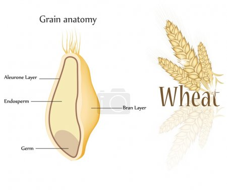 Wheat and grain anatomy.