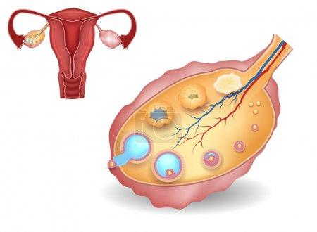 Ovary, detailed follicular development and uterus