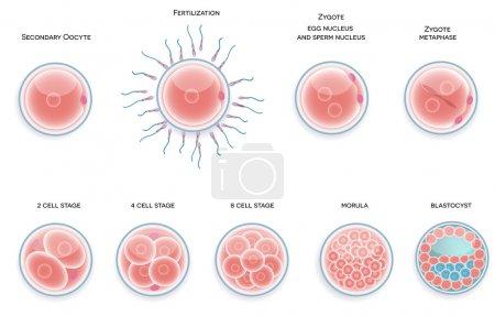Illustration for Fertilised cell development. Stages from fertilization till morula cell. - Royalty Free Image