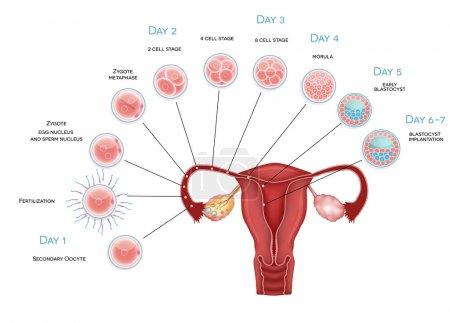 Embryo development. Secondary oocyte ovulation, fe...