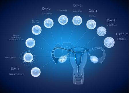 Illustration for Embryo development abstract blue background. Development till blastocyst implantation. - Royalty Free Image