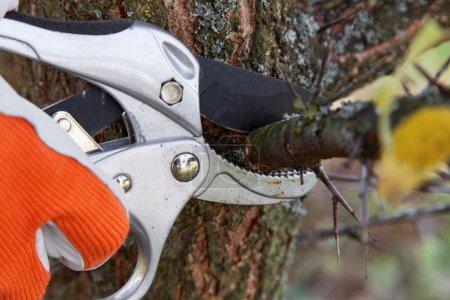 Photo pour Élagage des arbres fruitiers de sécateurs - image libre de droit
