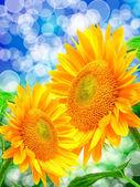 Zblízka slunečnice