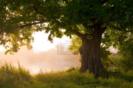 Photo for Oak tree in full leaf in summer standing alone - Royalty Free Image