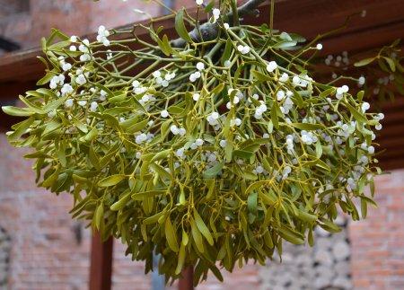Drying of a mistletoe white (Viscum album L. )