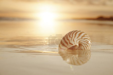Photo for Golden sunrise and nautilus shell in the sea - Royalty Free Image
