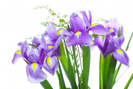 Beautiful purple iris flowers, isolated on white background