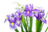 fleurs de belle iris pourpre, isolés sur fond blanc