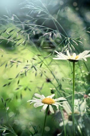 Camomile on meadow, with abstract blurred background, closeup sh