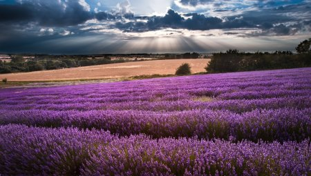 Photo pour Beau paysage de champs de lavande au coucher du soleil avec ciel dramatique - image libre de droit