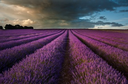 Photo for Beautiful landscape of lavender fields at sunset with dramatic sky - Royalty Free Image