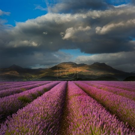 Beautiful landscpae of lavender field leading to mountain range