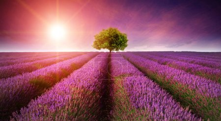 Photo for Beautiful image of lavender field Summer sunset landscape with single tree on horizon with sunburst - Royalty Free Image