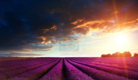 Stunning lavender field landscape at sunset in Summer