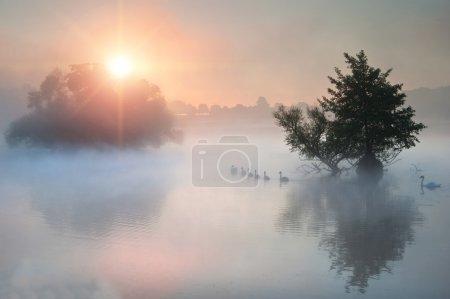 Photo pour Famillede cygnes nagent à travers le brouillard brumeux Automne Lac d'automne au lever du soleil - image libre de droit
