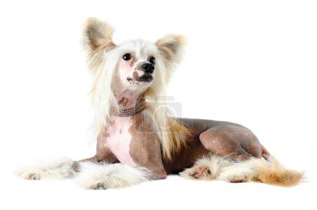 Chinese crested dog portrait isolated on white