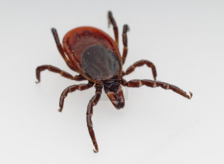 Deer tick which is the primary cause of lime disea...