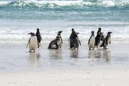 Penguins Magellan and Gentoo on