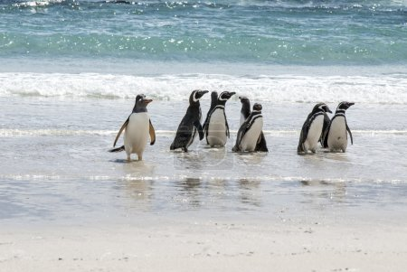 Photo for Gentoo Penguin - Pygoscelis papua - Magellanic Penguin - Spheniscus magellanicus - Falkland Islands - Royalty Free Image
