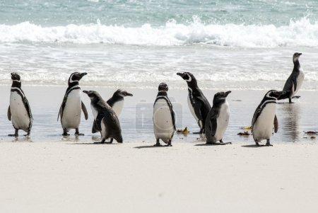 Photo for Magellanic Penguin - Spheniscus magellanicus - Falkland Islands - Royalty Free Image