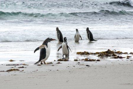 Photo for Gentoo Penguin - Pygoscelis papua - Magellanic Penguin - Spheniscus magellanicus - Falkland Islands - Gentoo Penguin Versus Magellanic Penguin - Royalty Free Image