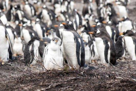 Photo for Gentoo Penguin - Pygoscelis papua - Falkland Islands - After rain - Royalty Free Image