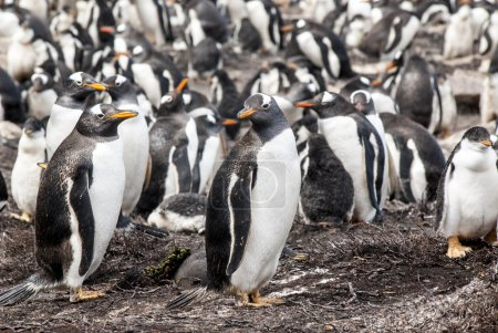 Photo for Gentoo Penguin - Pygoscelis papua - Gentoo Penguin Colony - Falkland Islands - Royalty Free Image