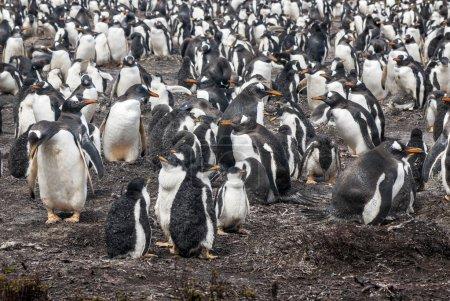 Photo for Gentoo Penguin - Pygoscelis papua -Gentoo Penguin colony - Parents and chicks - Falkland Islands - Royalty Free Image