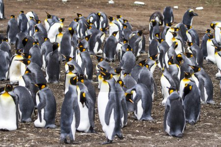 Photo for King Penguin - Aptenodytes patagonicus - Colony of king penguins in Bluff Cove, Falkland Islands - Royalty Free Image