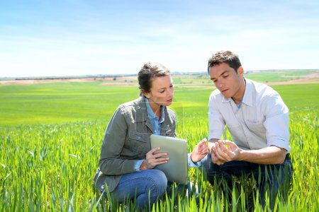 Agronomist looking at wheat quality with farmer...
