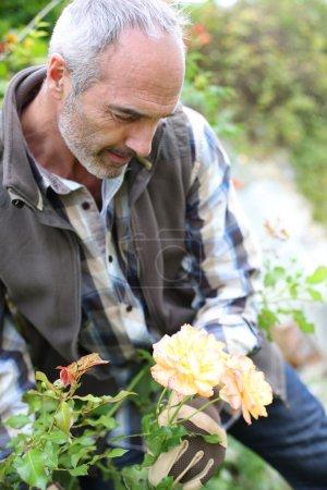 Senior man in garden cutting roses