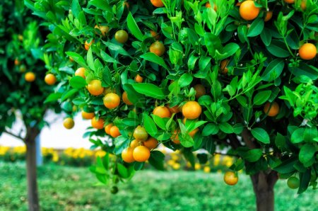 Photo for Branches with the fruits of the tangerine trees, Montenegro - Royalty Free Image