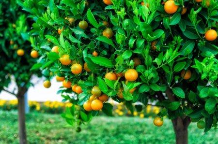 Photo pour Branches avec les fruits des arbres mandariniers, Monténégro - image libre de droit