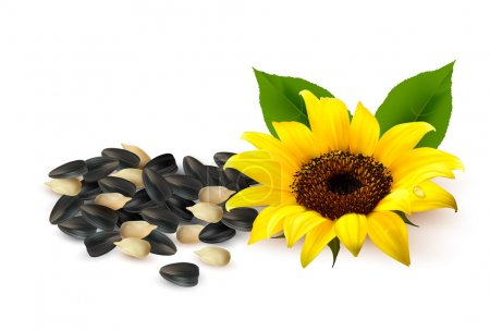 Background with yellow sunflowers and sunflower seeds. Vector il