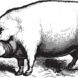Ancient vector engraving of a swine isolated on wh...