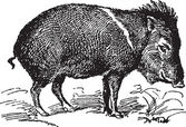 Ancient engraving of a single wild pig